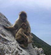 Barbary Apes, Gibraltar